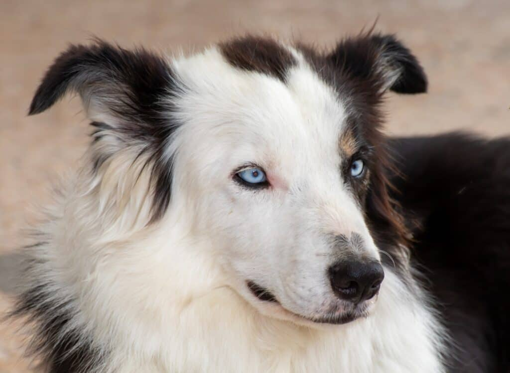 Blue eyed border collie