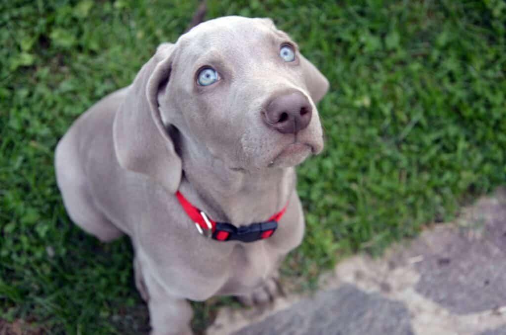 Weimaranar dog with pretty blue eyes