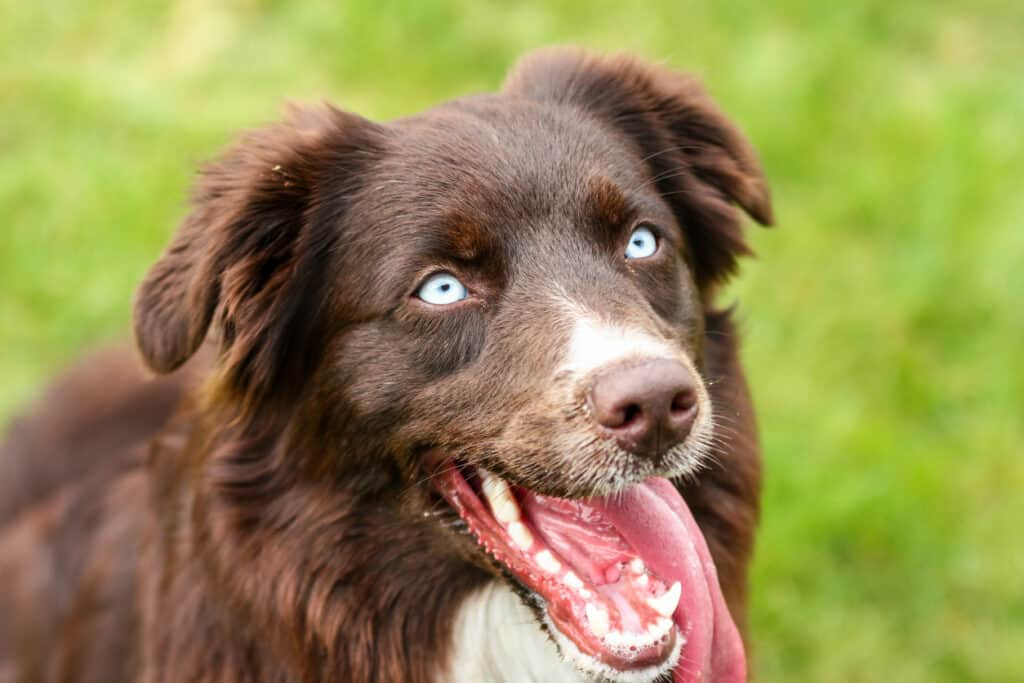 A portrait picture of the Australian shepherd dog with blue eyes.
