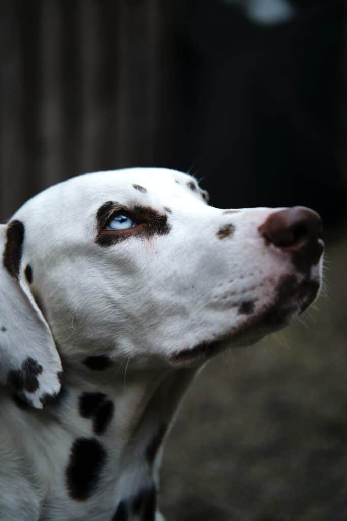 dalmation dog with blue eyes